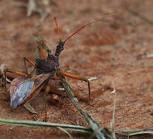 Assassin bug by kirribas30