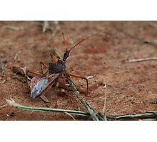 Assassin bug Photographic Print
