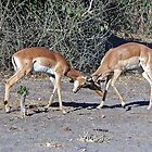 Duelling Impala. by ten2eight