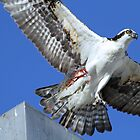 Osprey up close with dinner! by jozi1