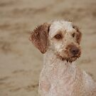 Labradoodle by reflector