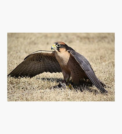 Lanner Falcon eating his Prey Photographic Print