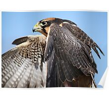 Lanner Falcon Up Close Poster