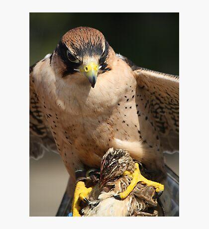 Lanner Falcon eating a Quail Photographic Print