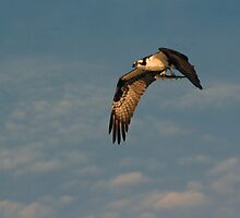 Osprey with Catch by Karen Checca