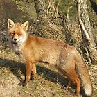 Red Fox -10254 by angeljootje