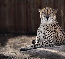 Predator Stare by Jen Millard