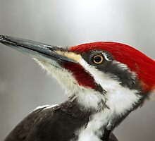 Pileated Woodpecker Portrait by Wayne Wood