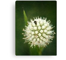 Button Snakeroot Canvas Print