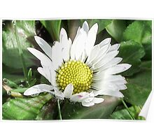 Small White Daisy Poster