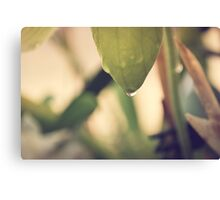 Water Drop on Lady Slipper Canvas Print
