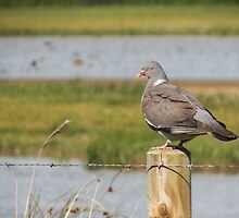 Pigeon post by Sue Purveur