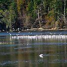 A Colony of Gulls by Jann Ashworth