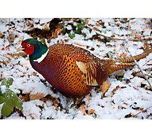 The Stalking Pheasant Photographic Print