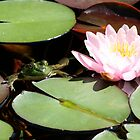 frog on lily pad by naturalgifts