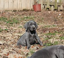 Blue Weimaraner by DebbieCHayes