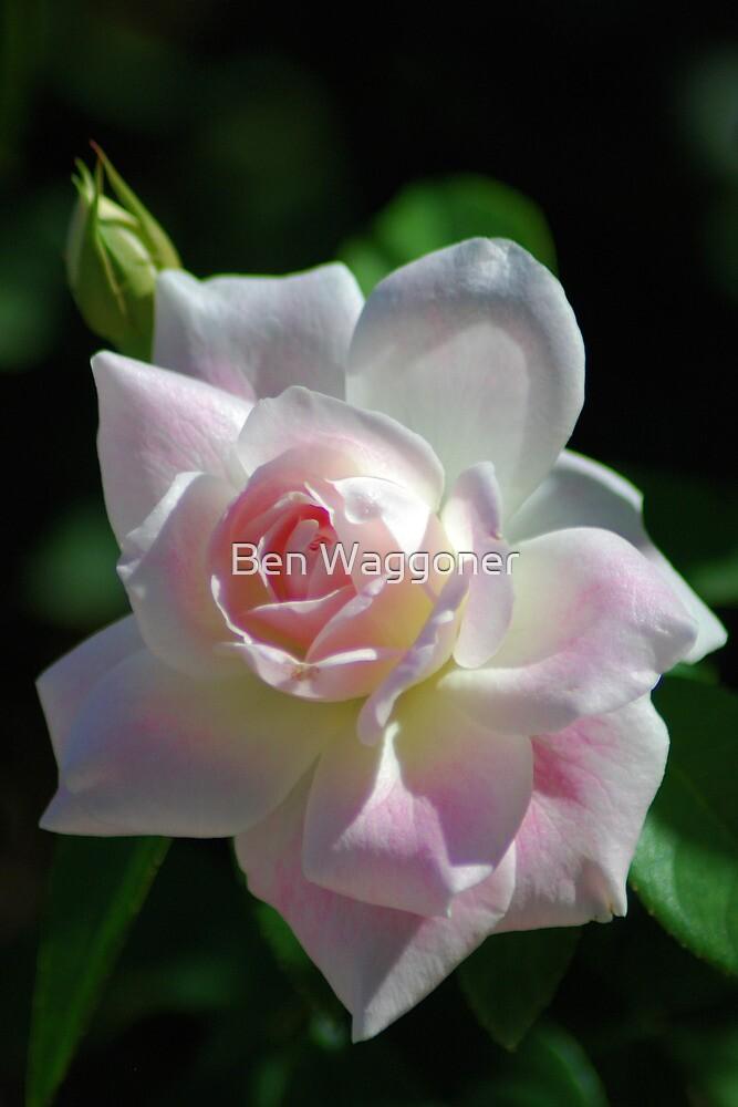 Pinkish rose by Ben Waggoner