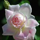 Pinkish rose by Ben Waggoner