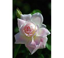 Pinkish rose Photographic Print