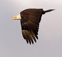 Bald Eagle by titus