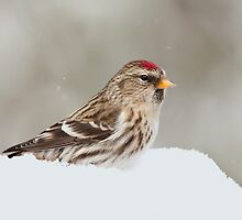 Common Redpoll Female by Wayne Wood