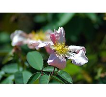 Pink wild rose Photographic Print