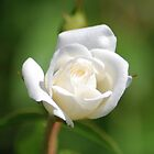 White rosebud by Ben Waggoner
