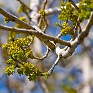 Newborn buds on our Arizona Ash tree by Ann Reece