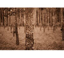 natural resources - rubber tree Photographic Print