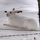Snowshoe Hare by Larry Trupp