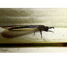 Antlion Lacewing Insect ~ 2 Photographic Print