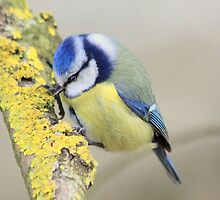 The Blue Tit (Cyanistes caeruleus) by DutchLumix