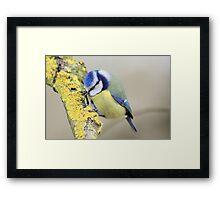 The Blue Tit (Cyanistes caeruleus) Framed Print