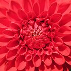 Red heart of a dahlia by Daphne Gonzalvez