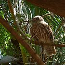Owl at Broome by DEB CAMERON