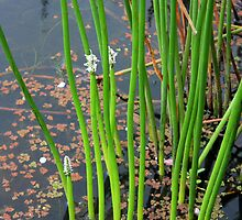 Reeds in Bloom by Geoff Smith