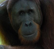 Orangutang by philrwesty