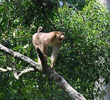 Macaque Monkey by philrwesty