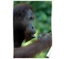 Orangutang Poster