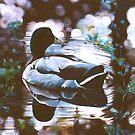 """Mallard"" - oil painting of a Mallard duck by James  Knowles"