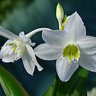 Eucaris Lily (Amazon Lily) by Gabrielle  Lees