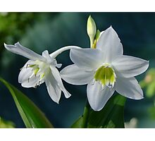 Eucaris Lily (Amazon Lily) Photographic Print