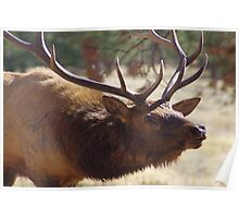 Bull elk in rutt Poster