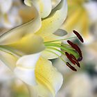 White Lily by Rainy