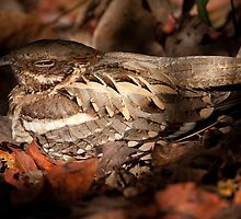Long tailed Nightjar by Shaun Whiteman