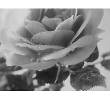 tinted rose Photographic Print