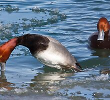 Red-headed Duck males by PixlPixi
