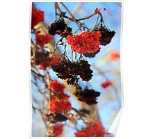Winter Berries Poster
