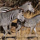 Zebra family on the hoof, Zambia by Alex Cassels