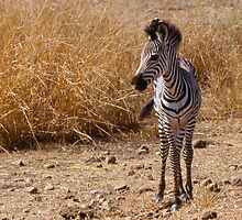 Watchful zebra foal in Zambia by Alex Cassels